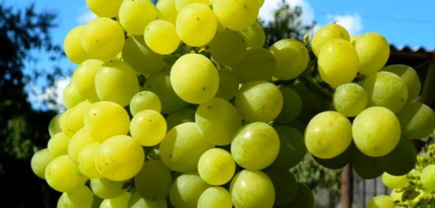 Pro виноград