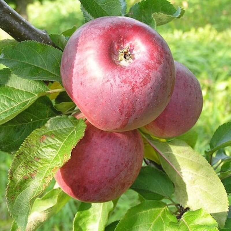 Осенние яблони