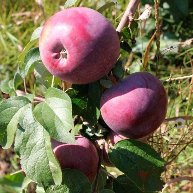 Зимние яблони