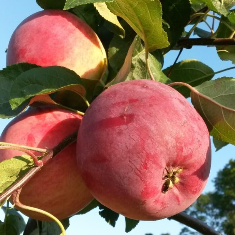 Летние яблони