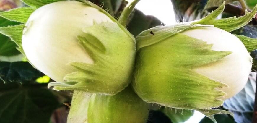 Урожай фундука на весах